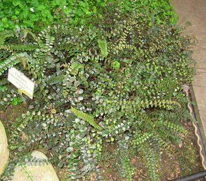 Pellaea rotundifolia - PB6.5 (15/20)