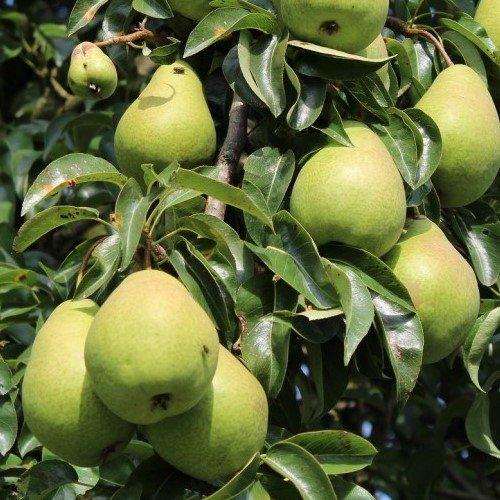 Pear Beurre Hardy 500