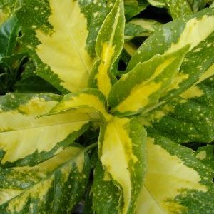 Aucuba japonica Forest Green - PB5 (30/40)