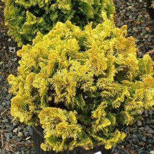 Chamaecyparis obtusa Nana Aurea - 1.3L Pot (10/20)