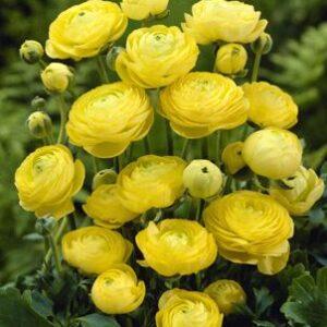 Ranunculus asiaticus Yellow