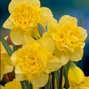 Daffodils Double - Dick Wilden