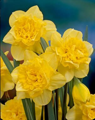 Daffodils Double – Dick Wilden