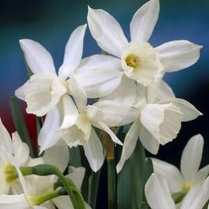 Daffodils Miniature - Thalia