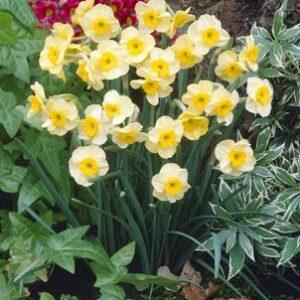 Daffodils Miniature - Sun Disc