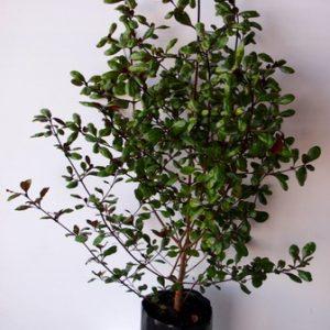 Coprosma Brockii  PB6.5 (60/80)