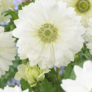 Anemone St Brigid (Double Flowering) - Mount Everest