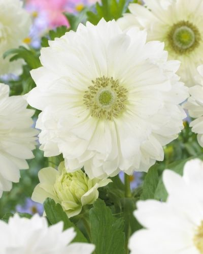 Anemone St Brigid (Double Flowering) – Mount Everest