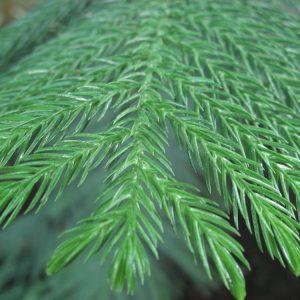 Araucaria heterophylla - PB6.5 (80/90)