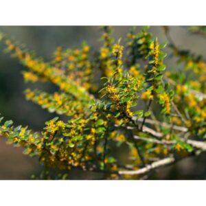 Azara microphylla - PB5 (30/70)