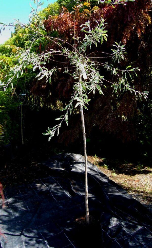 Pyrus salicifolia pendula  – PB40 (1.8STD)