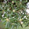 Quercus ilex  - PB12 (140/160)