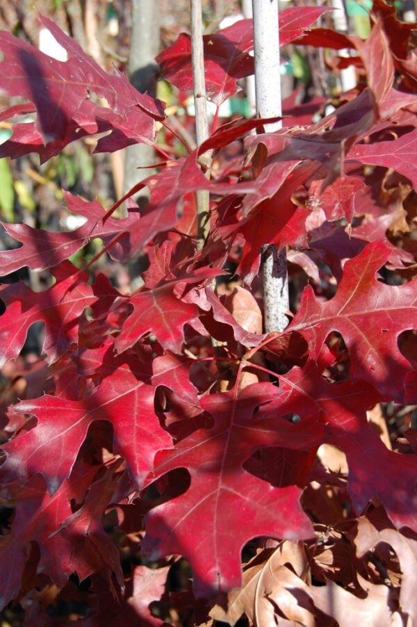 Quercus coccinea  – PB12 (170/220)