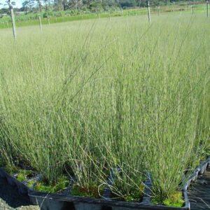 Leptocarpus similis  - RT (60/70)
