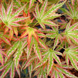 Acer palmatum  - PB12  170/190 cm
