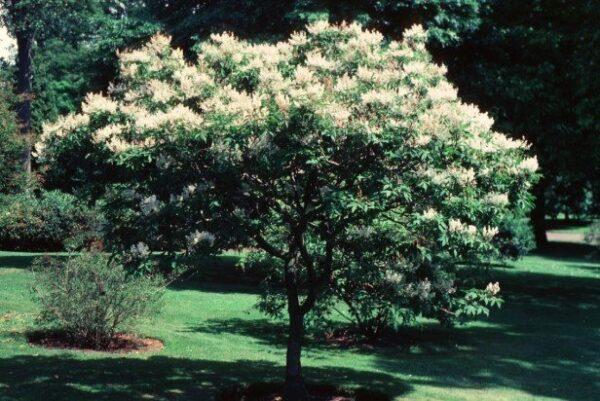 Fraxinus sieboldiana – PB40 (220/250)