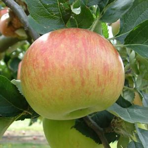 Apple Bramley's Seedling Pb12/18 (160/180)