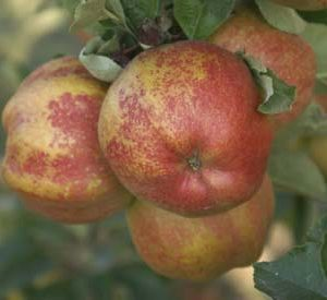 Apple Cornish Aromatic PB12/18 (160/180)