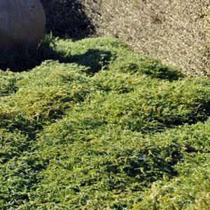 Coprosma acerosa Hawera - PB3/4 (10)