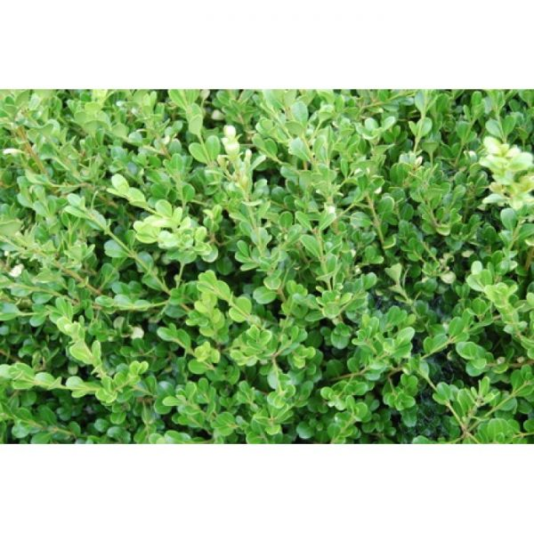 Buxus microphylla Green Gem-PB 5 (15/25)
