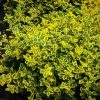 Euonymus Emerald n' Gold PB 5 (20/30)