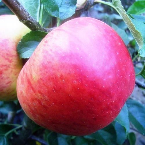 Süßsauer Schmeckende Früchte Mit Rosenapfelartiger Würze, Saftig
