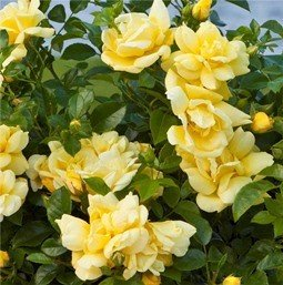 Rose Flower Carpet Gold Pb 65 3040 Greenleaf Nurseries