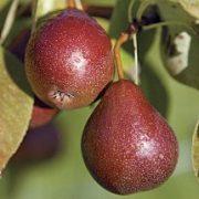 Pear Seckel PB12/18
