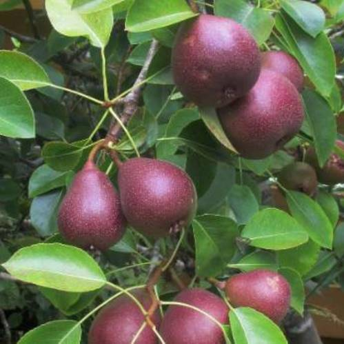 Pear Seckel 500