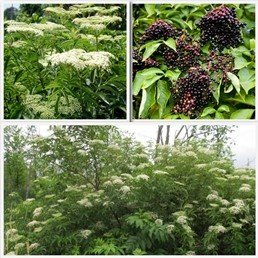 Elderberry 'Adams'