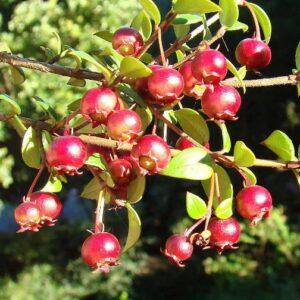 Topiary - Myrtus ugni 2 balls - PB12