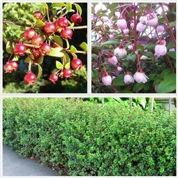 Cranberry (Myrtus ugni) - 2L (20/30)