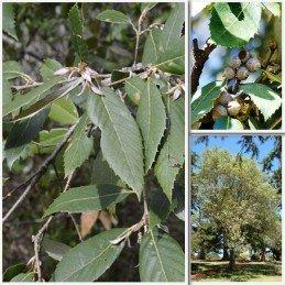 Quercus leucotrichophora 1.5Ltr (60/80)