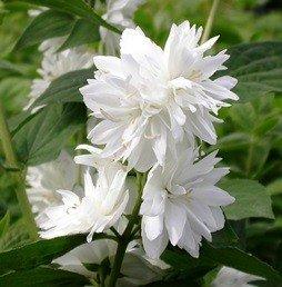 Philadelphus Snowflake - PB6.5 (50/60)