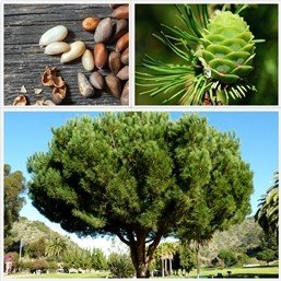 Pinus pinea (pinenut) PB12