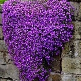 Aubrieta Purple Cascade - 2Ltr Pot (5/10)