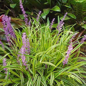 Liriope muscari Gold Band - PB5 (15/20)