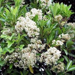 Viburnum odoratissimum - PB5 (30/40)