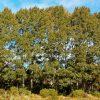 Populus Yunnanensis PB6.5 (100/150)