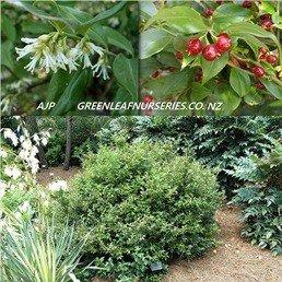 Sarcococca ruscifolia - PB5 (15/20)