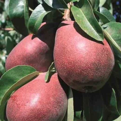 Pear Starkrimson