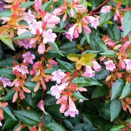 Abelia X Grandiflora 'Edward Goucherí