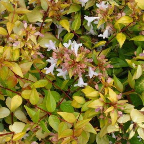 Abelia X Grandiflora Francis Mason Pb65 4050 Greenleaf Nurseries