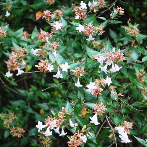 Abelia X Grandiflora Tube 1525 Greenleaf Nurseries