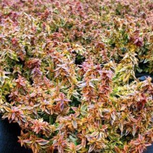 Abelia x grandiflora Kaleidoscope - pb6.5 (20/30)