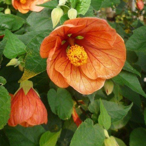 Abutilon Hybridum Orange 500