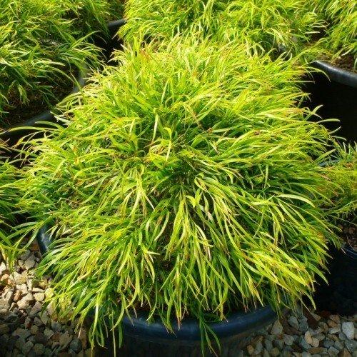 Acacia Bower Beauty - 3ltr (20)