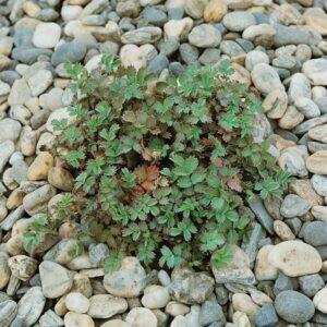 Acaena caesiiglauca - 1.3ltr (8/10)