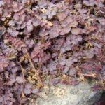 Acaena Inermis Purpurea 500
