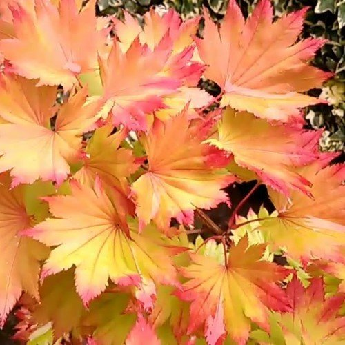 Acer Autumn Moon 500